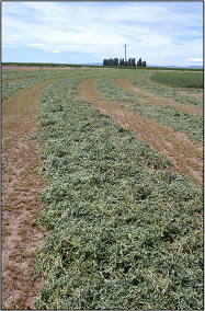 Alfalfa drying in the field