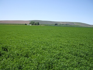 alfalfa_hay_field_in_washington