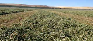 3rd cutting Alfalfa harvest in central Columbia Basin