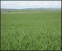 Timothy Hay field in the Kittitas Valley