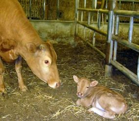 Calf with cow fed timothy hay from Anderson Hay