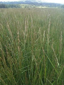 Fescue for Straw growing in Oregon 2011