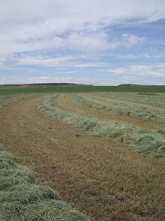 Timothy Hay 1st Cutting Harvest Update Anderson Hay