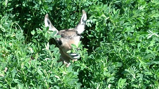 baby elk in the alfalfa