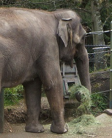 Timothy Hay from Anderson Hay fed to Elephants at Woodland Park Zoo