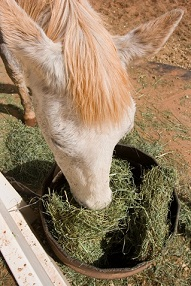Horse eating Alfalfa
