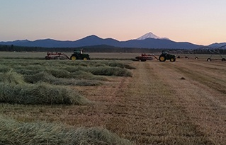Red_Rock_windrows_alfalfa_harvest