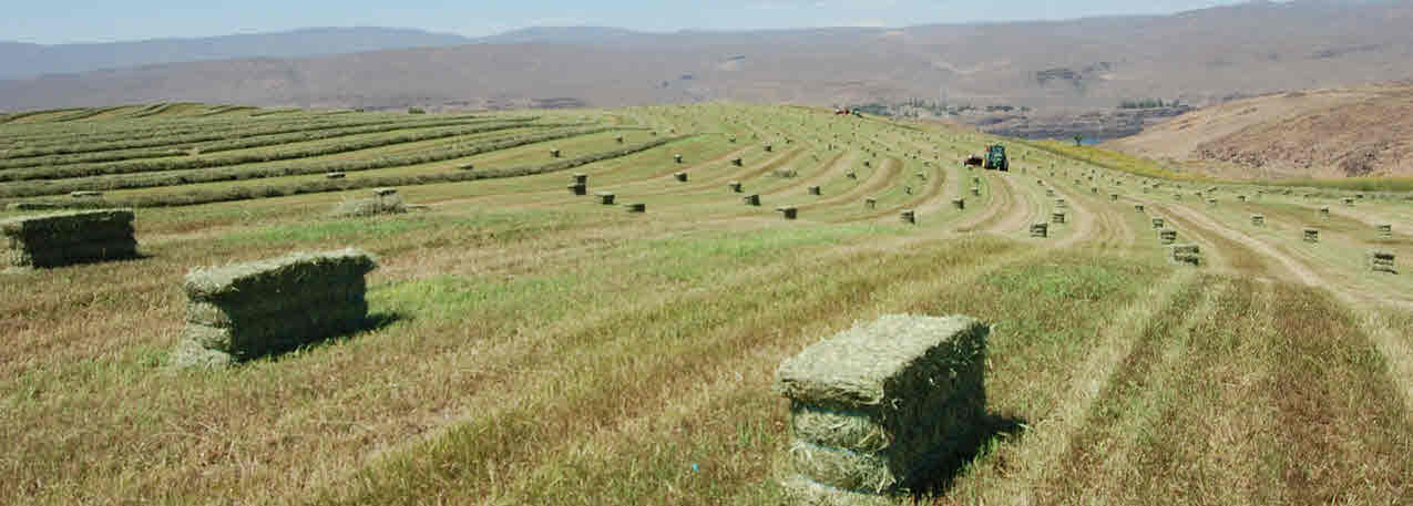 Timothy Hay for Cows
